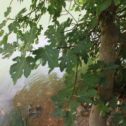 Fuerza de vida de la higuera en el Cañón del río Mundo en Albacete