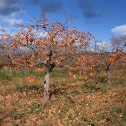Caquis otoñales en Noviembre en Segorbe de Castellón