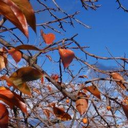 Caquis en otoño en Segorbe de Castellón