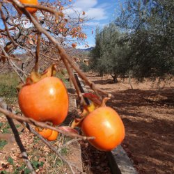 Vistas de caquis en Segorbe de Castellón