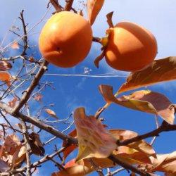 Resto de las hojas de caquis en Segorbe de Castellón