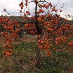 Caquis de Nochevieja en Segorbe de Castellón