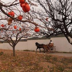 Paisaje entre los caquis en Segorbe de Castellón