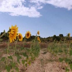 Girasoles en la provincia de Albacete