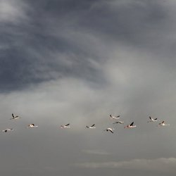Otro vuelo de flamencos en la Laguna de Pétrola en Albacete