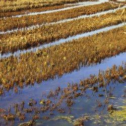 Cosecha de arroz recogida en La Albufera de Valencia