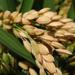 Campos de arroz maduro en La Albufera de Valencia
