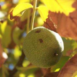 Fruta inmadura en la carretera de Las Minas a Agramón en Albacete