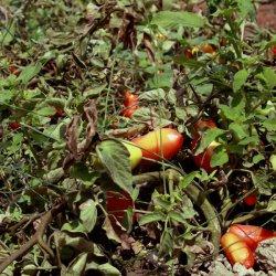 Tomates en los alrededores del pueblo Las Minas en Albacete