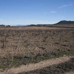Viñedos invernales en Alicante