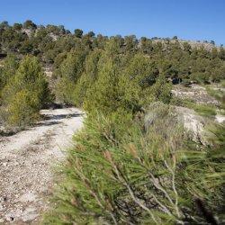 Pinos en Enero de una de las zonas en Alicante