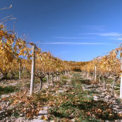 """Uvas """"navideños"""" en viñedos de Novelda en Alicante"""