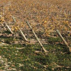 Primavera en Enero en los viñedos de Novelda en Alicante