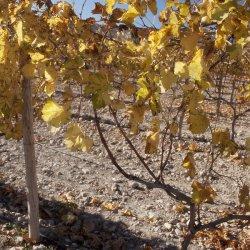 Arreglos en los viñedos de Novelda en Alicante