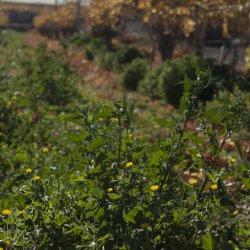 Naturaleza en Enero en los viñedos de Novelda en Alicante