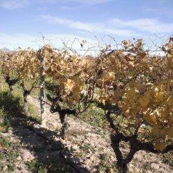 """Cepas en los viñedos """"navideños"""" de Novelda en Alicante"""