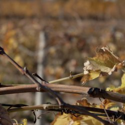"""Profundidad en los viñedos """"navideños"""" de Novelda en Alicante"""