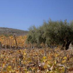 """Olivos junto con los viñedos """"navideños"""" de Novelda en Alicante"""