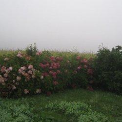 """Hortensias en el """"Pazo de Terrafeita"""""""