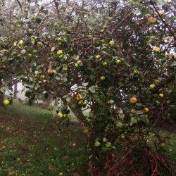 """Manzanas en el """"Pazo de Terrafeita"""""""