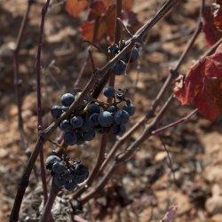 """Uva """"Bobal"""" en la zona vinícola de Utiel-Requena"""