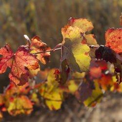 Hojas de los viñedos en la zona vinícola de Utiel-Requena en Valencia