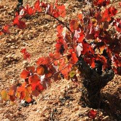 Cepas de uvas en la zona vinícola de Utiel-Requena en Valencia