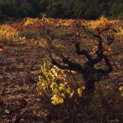 Troncos de las cepas en la zona vinícola de Utiel-Requena en Valencia