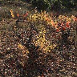 Tamaño de las cepas en la zona vinícola de Utiel-Requena en Valencia