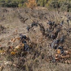 Viñedos abandonados en la zona vinícola de Utiel-Requena en Valencia