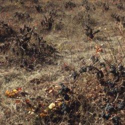 Cepas de uvas silvestres en la zona vinícola de Utiel-Requena en Valencia