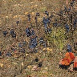 Plantas de uva trepadoras en la zona vinícola de Utiel-Requena en Valencia