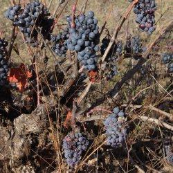 Uvas en los viñedos de la zona vinícola de Utiel-Requena en Valencia