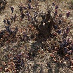 Viñedos no cultivados en la zona vinícola de Utiel-Requena en Valencia