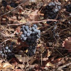 Racimos de uvas en la zona vinícola de Utiel-Requena en Valencia