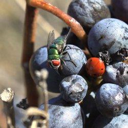 Insectos en la zona vinícola de Utiel-Requena en Valencia