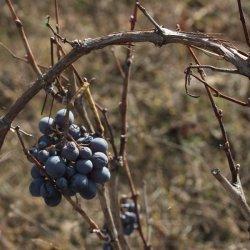 Formas de capas de uvas en la zona vinícola de Utiel-Requena en Valencia