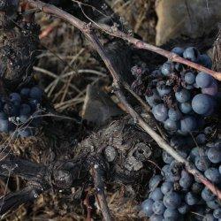 Sabor de las uvas en la zona vinícola de Utiel-Requena en Valencia