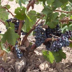 Viñedos en la zona vinícola de Jumilla